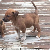 Adopt A Pet :: Boots - Hanover, PA