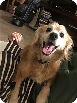 Spaniel (Unknown Type) Mix Dog for adoption in Seattle, Washington - Hercules