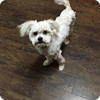 Maltese/Poodle (Miniature) Mix Puppy for adoption in Prosser, Washington - Mika