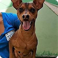 Adopt A Pet :: Petey - Ft. Lauderdale, FL