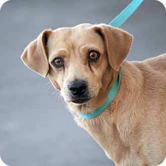 Dachshund Mix Dog for adoption in Palmdale, California - Archie