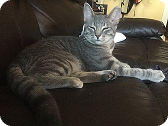 Domestic Shorthair Cat for adoption in Golsboro, North Carolina - FLASH