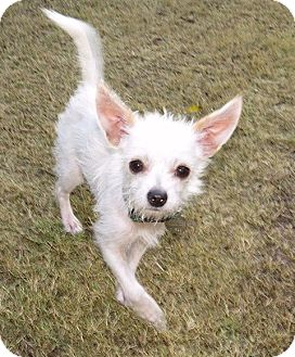 Terrier (Unknown Type, Small) Mix Dog for adoption in Scottsdale, Arizona - Whiskers
