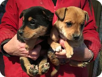 Shepherd (Unknown Type)/Chihuahua Mix Puppy for adoption in Quinlan, Texas - 2016 Box Pups - Male (2)