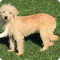 Adopt A Pet :: Lady - Orange, CA