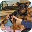 Photo 1 - Miniature Pinscher Dog for adoption in Florissant, Missouri - Addie