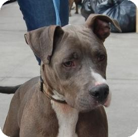 Terrier (Unknown Type, Medium)/American Pit Bull Terrier Mix Dog for adoption in Brooklyn, New York - Tommy