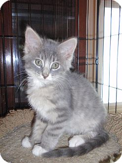 Domestic Mediumhair Kitten for adoption in East Brunswick, New Jersey - Sydney