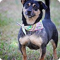 Adopt A Pet :: Sophie - Albany, NY
