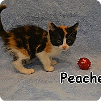 Adopt A Pet :: Peaches - Oyster Bay, NY