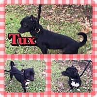 Adopt A Pet :: Tux - Houston, TX