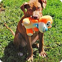 Adopt A Pet :: Shea - Reisterstown, MD
