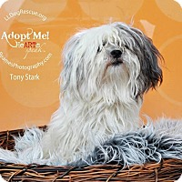 Adopt A Pet :: Tony Stark - Shawnee Mission, KS