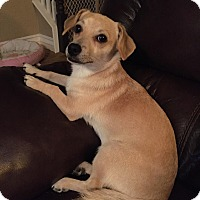 Adopt A Pet :: Bambi - Rancho Cucamonga, CA