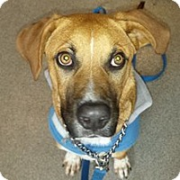 Adopt A Pet :: Scooby - West Hartford, CT