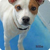 Adopt A Pet :: Millie - Old Saybrook, CT