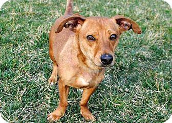 Dachshund Mix Dog for adoption in Allentown, Pennsylvania - SKEETER