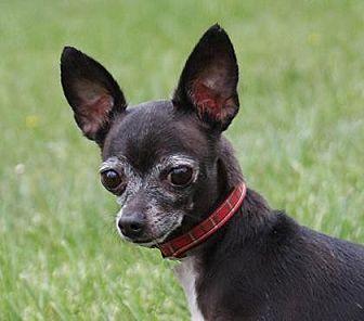Chihuahua Dog for adoption in Colorado Springs, Colorado - Rachael