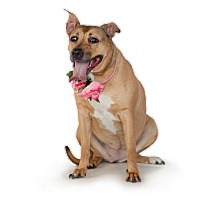 Pit Bull Terrier Mix Dog for adoption in St. Cloud, Florida - Leyla