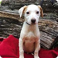 Adopt A Pet :: PUPPY THEODORE - Salem, NH