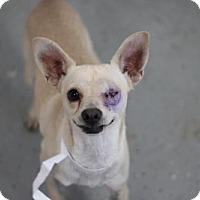 Adopt A Pet :: Pirata - Phoenix, AZ