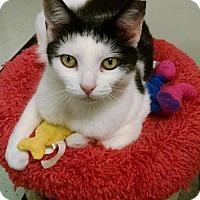Adopt A Pet :: 1607-1559 Yetive Yin Yang - Virginia Beach, VA