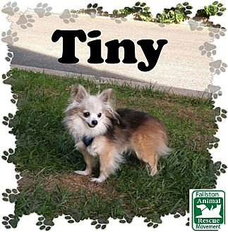 Chihuahua Mix Dog for adoption in Fallston, Maryland - Tiny