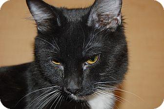 Domestic Shorthair Kitten for adoption in Whittier, California - Jane