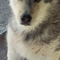 Alaskan Malamute Dog for adoption in Las Vegas, Nevada - Aero aka Zeus