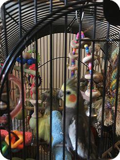 Cockatiel for adoption in Punta Gorda, Florida - Luci & Desi