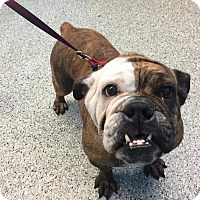 English Bulldog Dog for adoption in Elgin, Illinois - Proveleta