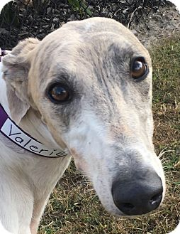 Greyhound Dog for adoption in Longwood, Florida - AMF Vida Girl