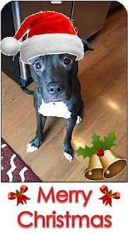 Pit Bull Terrier Dog for adoption in Fargo, North Dakota - Kennedy