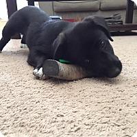 Adopt A Pet :: Padmae - Greeneville, TN