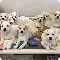 Adopt A Pet :: 'SKYLER' - Agoura Hills, CA