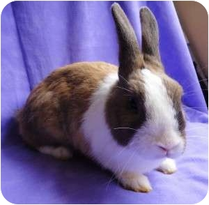 Other/Unknown Mix for adoption in Los Angeles, California - Honey Bunny