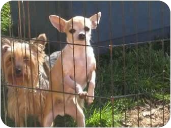Chihuahua Dog for adoption in Salem, New Hampshire - Juanita