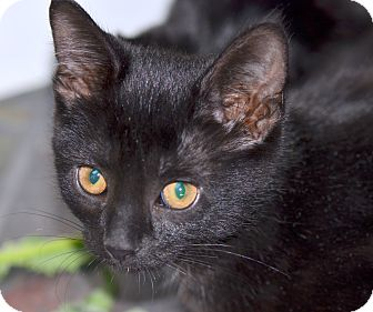 Domestic Shorthair Cat for adoption in Troy, Michigan - Gumdrop