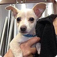 Adopt A Pet :: Olaf - Vacaville, CA
