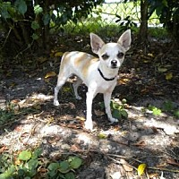Adopt A Pet :: Cola - Fort Lauderdale, FL