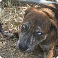 Adopt A Pet :: Baby Face - Dallas, TX