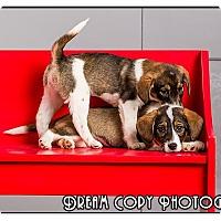 Adopt A Pet :: Cagney - Owensboro, KY