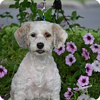 Adopt A Pet :: Millie 5yr Adopted - Mentor, OH