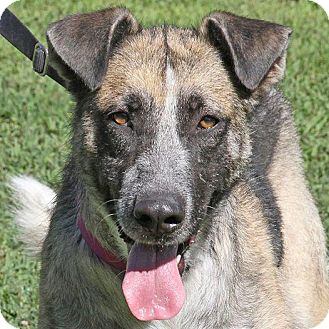Shepherd (Unknown Type) Mix Dog for adoption in Sacramento, California - Avalon!