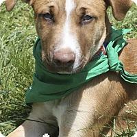 Adopt A Pet :: Shana - Washington, DC