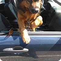 Leonberger Mix Dog for adoption in middle island, New York - CRIS