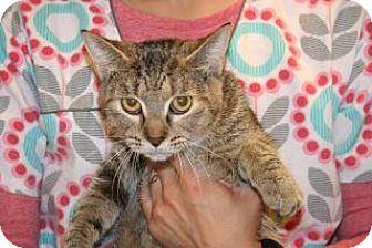 Domestic Shorthair Cat for adoption in Wildomar, California - Natalie