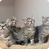 Adopt A Pet :: Kittens! - Gainesville, VA