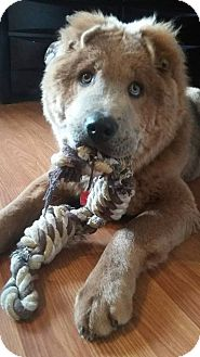 Shar Pei/Chow Chow Mix Dog for adoption in Tillsonburg, Ontario - Ozzie