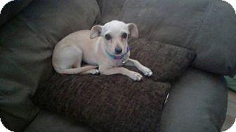 Chihuahua Dog for adoption in Phoenix, Arizona - Freya